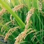 نقابات زراعية موريتانية تدق ناقوس الخطر