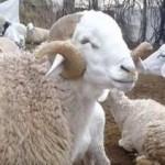 لحم الضأن يتسبب في ضرب مسؤول موريتاني كبير